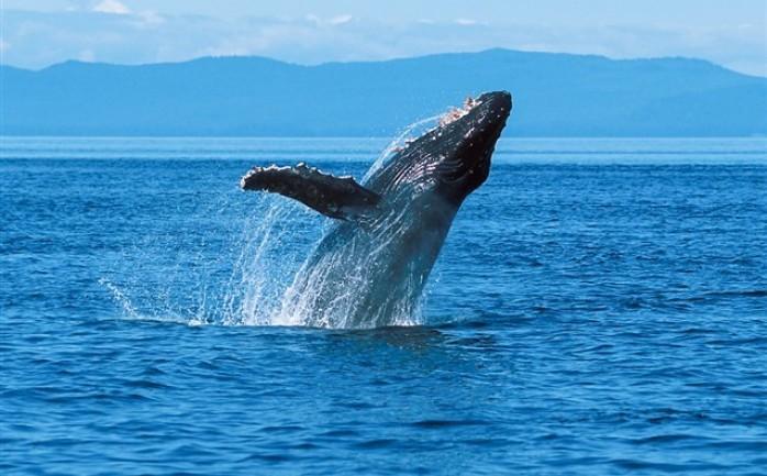 هل يسمع الانسان صوت الحوت الأزرق الوطنية للإعلام